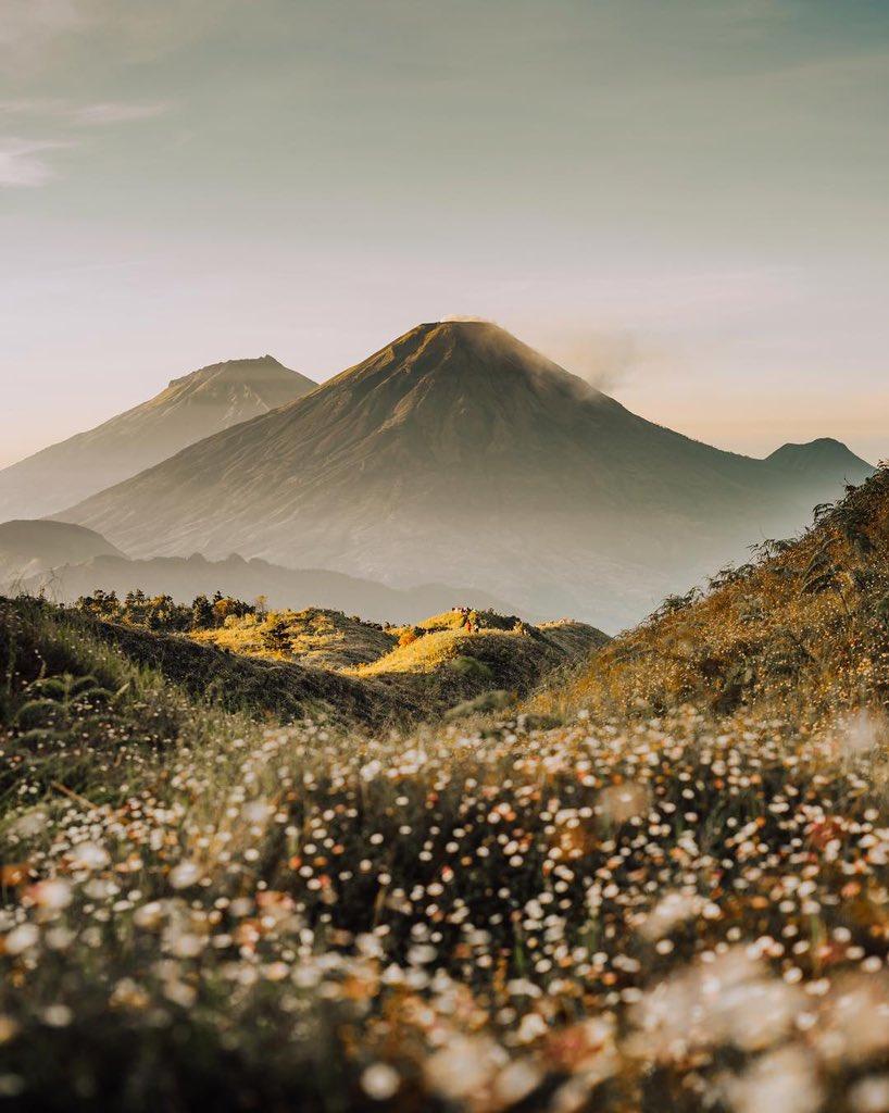bunga daisy gunung prau dieng